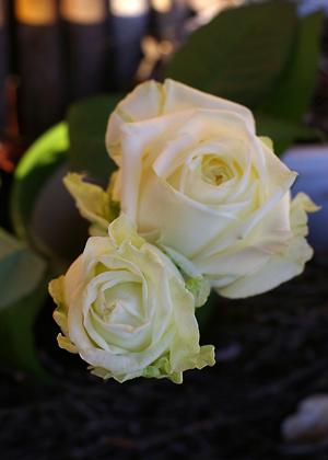 <h2><br/>真白でとてもきれいな大輪バラ。蕾でも大きいので開いてくるとボリュウムが増し、みごとに咲いてきます。挙式用の白ブーケにぴったりです。</h2>