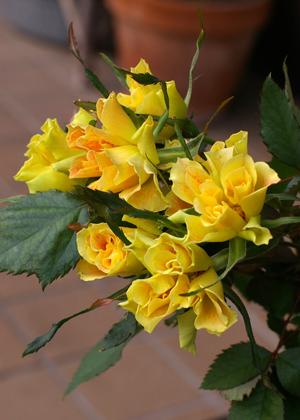 <h2><br/>くしゅくしゅと縮れた花びらが個性的に開花します。黄色とオレンジの複色のバランスは季節によって変化します。</h2>
