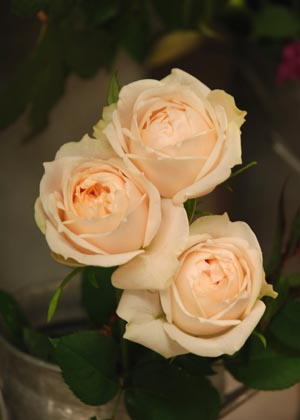 <h2><br/>咲きかたがなんともかわいらしい、淡いピンクのバラ。ほのかに匂う甘い香りもウエディングブーケにぴったりです。</h2>