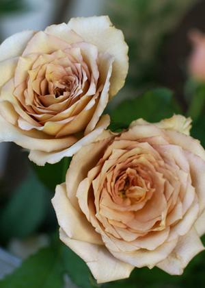 <h2><br/>ミルクティーのようなきれいな薄茶色のおしゃれなバラ。表情があり、満開に開くと存在感が増して一段と華やかになります。 最近人気のあるバラです。</h2>