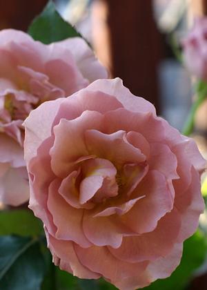 <h2><br/>ほんのりピンクがかった茶系のバラです。花びらは少なめで、芯までしっかりと咲いた姿が上品で大変美しいバラです。ウェディングブーケにぴったりのお花です。</h2>