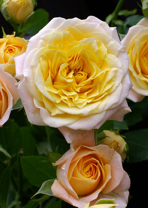 <h2><br/>花びらの巻きが厚く、コロンとした形がとってもかわいい大輪バラです。周りは淡い黄色で、内側は鮮やかな黄色になっています。 カラードレスにも似合いそうですね。</h2>