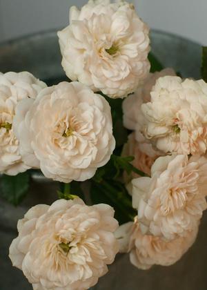 <h2><br/>グリーンアイスは真白のスプレーバラですが、このバラはうっすらピンクがかっています。繊細そうに見えますが茎もしっかりしていてブーケにぴったりです。爽やかでかわいらしく仕上がります。</h2>