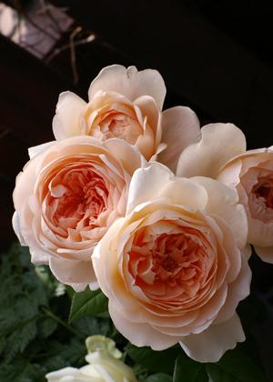 <h2><br/>アプリコット色に薄いピンクを混ぜたような色合いが印象的なとても上品なバラです。 中心から外側にむかって淡いピンクになっていく美しいグラデーションです。</h2>