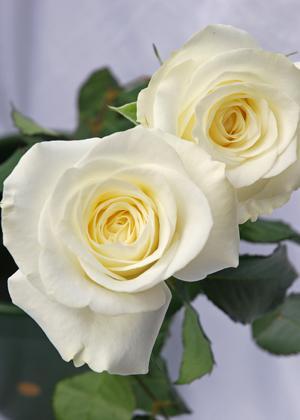 <h2><br/>中輪咲きのオールドローズ。蕾の時は白く見えますが、開花とともに中心から薄いオレンジになっていきます。まるでシルクのような柔らかな花びらとフルーティーな香りが特徴です。</h2>
