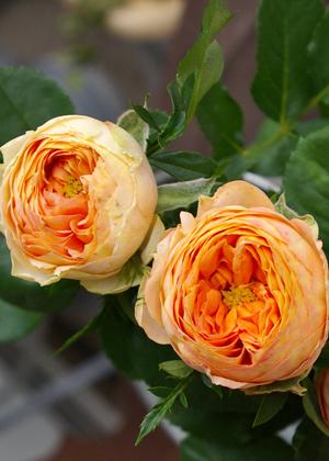 <h2><br/>花弁40~60枚あるアンティーク調の品種。まるい蕾からクォーターカップ咲きの花が開きます。たいへんかわいらしく、ロマンティックなブーケになります。</h2>