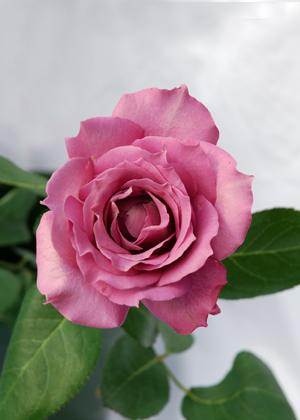 <h2><br/>やや青みの強いパープルのバラで、外側からふっくらと花が開いていきます。満開になると花径8~10センチくらいになります。甘い香りが印象的です。</h2>