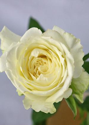 <h2><br/>中心にむかってクリーム色になっていき、満開になると花径14センチくらいの大きさになる大輪バラです。黒い実ものなどを合わせた白ブーケにぴったりです。</h2>