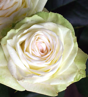 <h2><br/>外側はうっすらとグリーン、中心にむかってほんのりとピンク色。幾重にも花びらが折り重なっている華やかなバラです。透き通る白やグリーン系、やさしいピンク系のお花との相性がいいバラです。</h2>