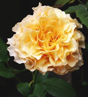 <h2><br/>幾重にもフリルした花びらがゴージャスなアプリコットオレンジのバラです。開くと花径が10センチくらいになる大輪。個性的なブーケができそうなバラです。</h2>