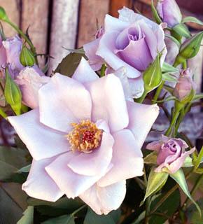 <h2><br/>花びらが少なく、ひらひらと咲く姿が可憐で美しい。数少ない淡紫色のバラです。ピンク系や濃い紫色と相性がいいです。やわらかい茎のラインを生かして、ナチュラルに仕上げることをお奨めいたします。</h2>
