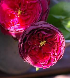 <h2><br/>黒っぽい紫色から気品あるくすんだ紫色へと変化する、ロゼット咲きのバラです。花芯がのぞいて見える様子も素敵。強いオールドローズの香りに酔いしれてみては・・・?</h2>