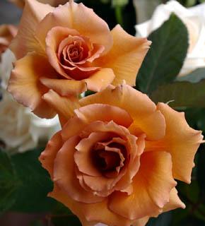 <h2><br/>まさに、紅茶色のバラです。花びらがくるっとカールして軽やか。シックブーケやアンティークなイメージをお求めの方におすすめしたいバラです。</h2>