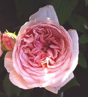 <h2><br/>ペールピンクのオールドローズ咲きのバラ。ブライダルシーンでは、大変人気の高いバラのひとつです。甘い香りが花嫁を夢心地にしてくれるのでは・・・?ブーケ用におすすめのお花です。</h2>
