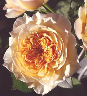 <h2><br/>イエロー・アプリッコト・ピンク・クリーム色が混ざったような淡い色合いのイングリッシュローズ。大きく開いた花びらが、幾重にも重なった様子につい、うっとりと見惚れてしまいます。とても、甘い香りがします。</h2>