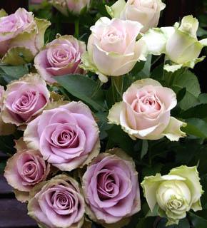 <h2><br/>花びらのふちにほんのり緑色を帯び、アンティークな紫色。上品で落ち着きのあるバラです。咲くにつれて花色が変化して、表情も豊か。</h2>