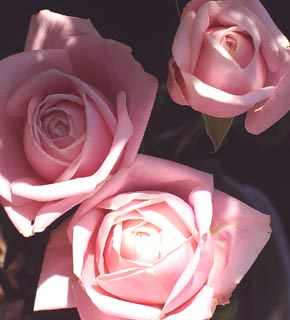 <h2><br/>全体に、ぽてっと丸い形をした桃色。非常に愛らしい印象のバラです。白いお花と合わせて、ブーケのメインカラーにもなります。ラウンドブーケにとくに、おすすめです。</h2>