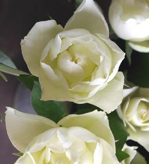 <h2><br/>やや黄色味を帯びた白バラです。 花びらは小さくフリルして少し尖っているため、きりっとしたイメージのあるお花です。ブーケ用に人気があります。</h2>