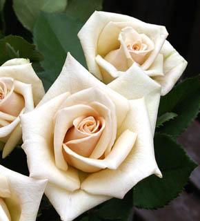<h2><br/>真珠のような質感の、サンドベージュ。どんなお花にも似合う、ニュアンスカラーのバラです。白と合わせて清楚に、茶系と合わせてシックに・・。お好みで、自由自在です。ブーケにおすすめのバラです。</h2>