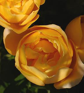 <h2><br/>山吹色&times;アプリコット色。つぼみは、丸くて可愛らしい。カップ咲きの大輪バラです。 茎の柔らかさを生かしたブーケやアレンジにしたいですね。</h2>