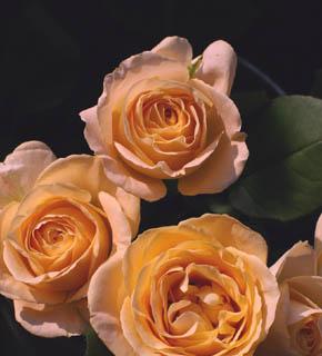 <h2><br/>ピンクに微妙なイエローやオレンジが混ざりお花が開くほどに、白っぽくなります。お花の色のようなフルーティーな香りが・・・。こんな素敵なバラのブーケは、いかがでしょうか?</h2>