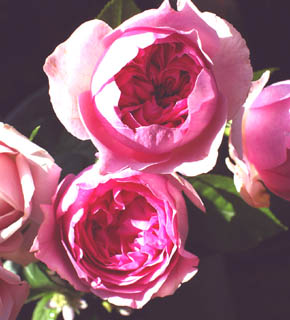 <h2><br/>オールドローズのようなカップ咲きで、ダマスクローズの濃厚な甘い香りも魅力。ブーケにとても人気のバラです。フランス風を気取って、香り高いブーケはいかが?</h2>
