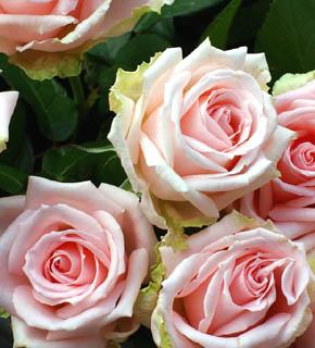 <h2><br/>まさに、ロマンティックピンクの大輪バラ。花の中心にむかって、ピンク色が濃くなり、花びらは、少しグリーンがかっています。ブーケやアレンジの主役にどうぞ。</h2>