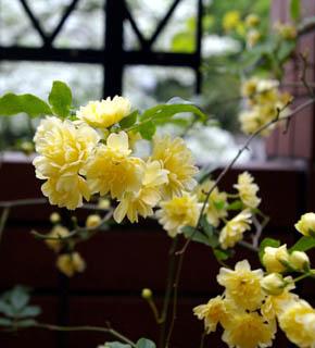 <h2><br/>1年に1度、淡い黄色の花を咲かせるつる性のバラです。手まりのように、小さなお花が集まって咲く、愛らしいお花です。つるを生かして、枝ごとアレンジなどに使いたい、春限定のバラになります。</h2>
