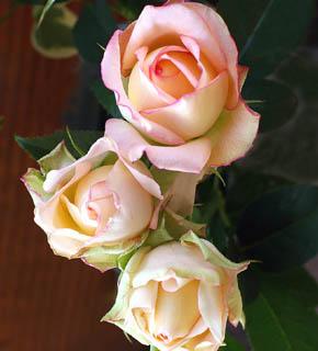 <h2><br/>きれいなクリーム色に、ピンク色のふちどりのある大輪バラです。スタンダードな花形でバラらしいバラと言えるでしょう。ピンク系にもオレンジ系にも仕立てられます。</h2>