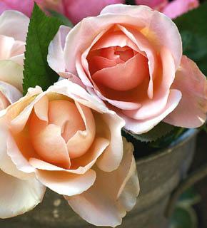 <h2><br/>香り高い、ロゼット咲きのイングリッシュローズです。オールドローズのような花形で、クラッシックな雰囲気を持つバラです。ソフトピンクのやさしい色のこのお花で、エレガントなブーケを作りましょう。</h2>