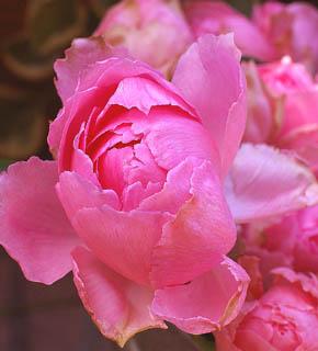 <h2><br/>ビビットなピンク色が美しい大輪のオールドローズ。咲いた時のボリューム感とともに、主役級のお花と言えます。淡いピンク系やアイボリー系のお花との相性は、抜群です。「ピンク大好き!」という方には、たまらないバラですね。</h2>