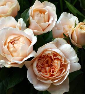 <h2><br/>淡いアプリコット色のロゼット咲きのバラ。やわらかい茎に、うつむくように咲く姿が、さりげなくて美しい。香りも高く、大変人気のあるバラです。ブーケの主役にしたいお花です。</h2>