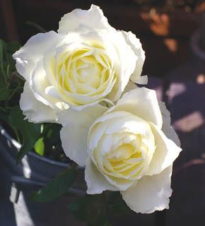 <h2><br/>ひときわ大きく美しく咲き誇るこの白バラがグレースケリーの名を持つのも、うなずけます。ウエディングブーケ用に大変人気のあるバラです。高貴で清楚なバラは、いかがですか?</h2>
