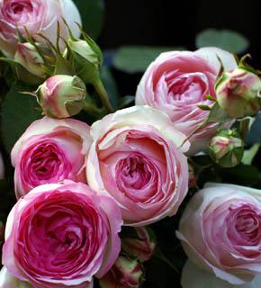 <h2><br/>ガリカローズのひとつで、オールドローズの中でも、もっとも古い系譜を持つバラです。花びらの外側は白、中はピンク、ぽってりとした大輪。エレガントでロマンティックなブーケをご希望の方におすすめしたいバラ。</h2>