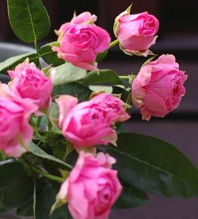 <h2><br/>コロンとした花形とショッキングピンク色が可愛らしいスプレー咲きのバラです。挿し色に使ってブーケ全体のアクセントにどうぞ。「ピンク大好き!」という方におすすめです。</h2>
