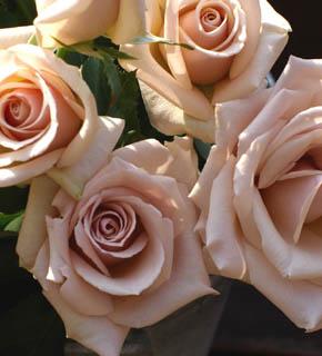 <h2><br/>ミルクがたっぷりと入った、キャフェのような印象のバラ。中間色なので、どんなお花とも相性がいいバラです。大輪なので、主役としても使えます。</h2>
