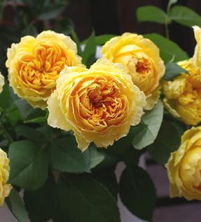 <h2><br/>オレンジから黄色へのグラデーション。幾重にも重なった花びら。ぽってりと丸い花形が美しいバラです。ブーケにも、アレンジにも。</h2>