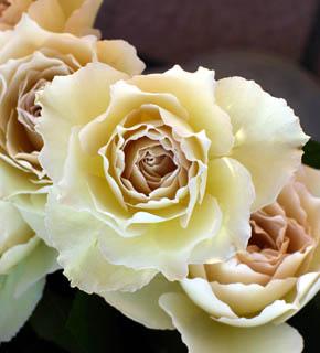 <h2><br/>ベージュのグラデーションをもつ、不思議な色のバラです。花びらも、ひらひらとフリルがあるので、透明感のある軽いイメージのお花。主になるお花の添えに使いたい。</h2>