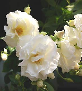 <h2><br/>花びらが少なく、花の芯まで見える咲き姿が美しいスプレー咲きのバラ。ひらひらと咲く様子は、まるで妖精のよう・・・。ナチュラルブーケに仕立てたいお花です。</h2>