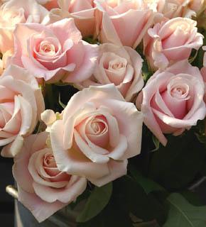 <h2><br/>上品で落ち着きのあるピンクのバラです。組み合わせは、幅広く、どんな色目のお花とも相性がいいです。ブーケにも、アレンジにもどうぞ。</h2>