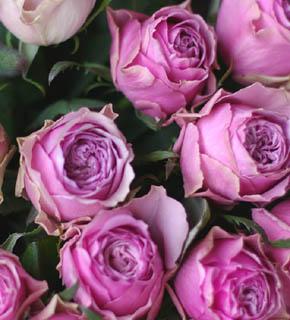 <h2><br/>ミルフィーユというネーミングのように、幾重にも重なる花びらが、こってりとした、濃厚な印象を与えます。大輪のバラです。きゅっとまとめて、フランス風を気取ってみては・・?</h2>