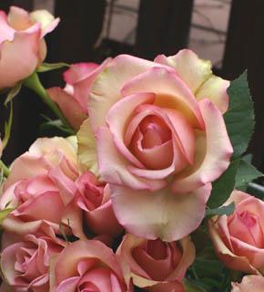 <h2><br/>上品なピンク色のふちどりのある、大輪のバラです。ブーケなどの主役にしたいお花です。濃い目のお花と合わせても、アイボリー系で合わせてもいいでしょう。</h2>