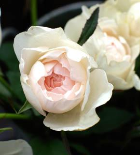 <h2><br/>うけ咲き、大輪のオールドローズ。花の芯に、うすいピンク色をもつ、女性的で上品なバラです。ほんのりとした香りただようブーケで、ロマンティックな挙式はいかがですか?</h2>