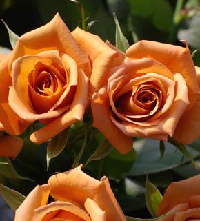 <h2><br/>オレンジ色から茶色のグラデーションをもつシックなバラです。茶系がお好きな方には、たまらないお花です。</h2>