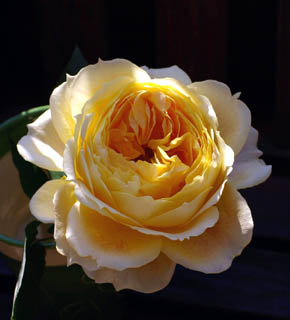 <h2><br/>まさに、キャラメル色のオールドローズ。大輪のバラなので、ブーケの主役として使いたいバラです。</h2>