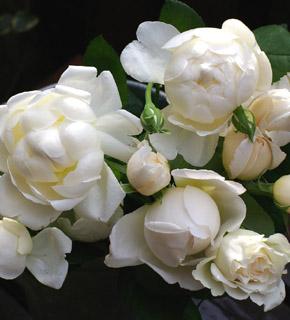 <h2><br/>清楚で高貴な雰囲気をもつ、香り高いイングリッシュローズです。うけ咲きの大輪で、ぽってりとした咲き方が大変美しいバラです。流通量が少ないため注文の花材になります。</h2>