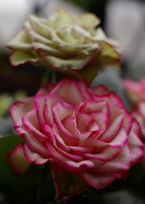 <h2><br/>薄い緑がかったアイボリーに赤ピンクのふちどり、カールした花びらは、かなり特殊で希少な大輪バラ。ピンクや赤と合わせてみたいお花です。</h2>
