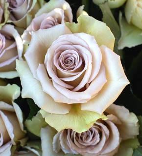 <h2><br/>中心は、うすい藤色、外側はうっすらと緑がかった、ミステリアスな色のバラです。シックな中間色なので、ポイントになる色の濃いお花と合わせます。非常に素敵なバラです。</h2>