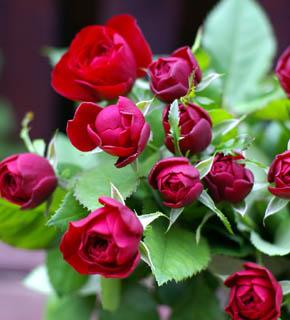<h2><br/>蕾は、丸くころっとした可愛いフォルム、咲くにつれ平らに大きくなります。メインのお花に華やかさをそえるビロードの質感をもつバラです。</h2>