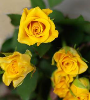 <h2><br/>山吹色の小ぶりのバラ。レモンイエローに比べ、やや落ち着きのある色目なので、シックな葉ものとまとめるのもいいでしょう。</h2>